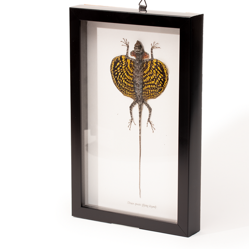 Framed Flying Lizard - Draco sp.  - Thumbnail Yellow