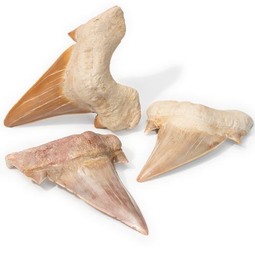 Fossil Otodus Shark Tooth - Large Thumbnail