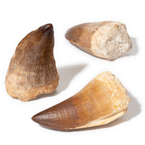 A-Quality Mosasaur Teeth - Thumbnail