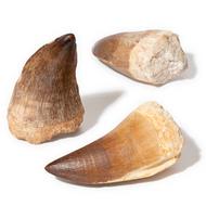 A-Quality Mosasaur Teeth - Thumbnail