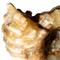 Ridged Ammonite - Douvilleiceras - Close Up