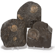 Ammonite Plaque - Dactylioceras - Thumbnail