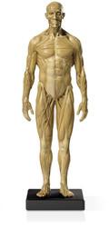 Mini Muscular Anatomical Figure, Male