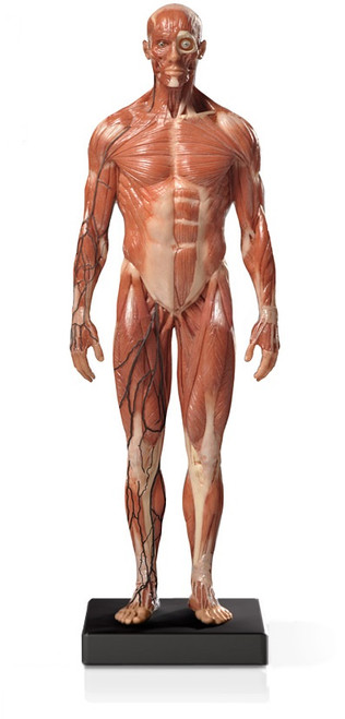 Mini Muscular Anatomical Figure, Male - Thumbnail