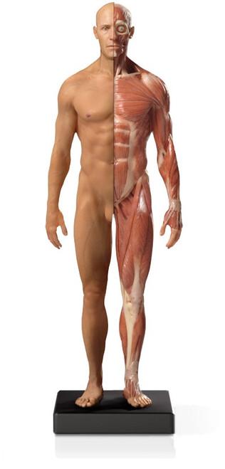 Mini Half-Muscular Anatomical Figure, Male