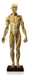 Anatomical Figure, Male - Antique Finish