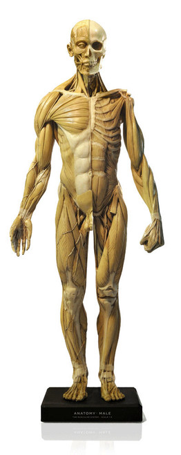 Anatomical Figure, Male - Antique Finish