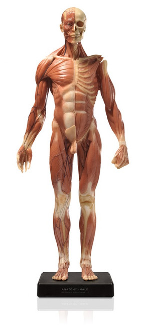 Anatomical Figure, Male - Hand Painted