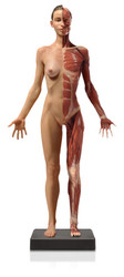 Anatomical Figure, Female - Hand Painted - Thumbnail