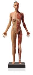 Anatomical Figure, Female - Hand Painted - Thumbnail