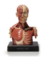 Anatomical Bust, Male - Hand Painted - Thumbnail