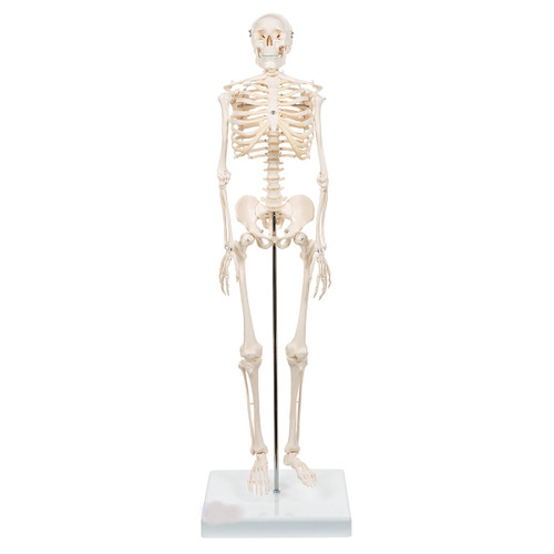 Mini Human Skeleton Model Shorty - Thumbnail