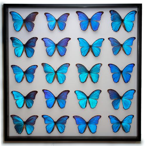 Giant Giant Blue Morpho Display - Thumbnail