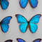 Giant Giant Blue Morpho Display - Close Up