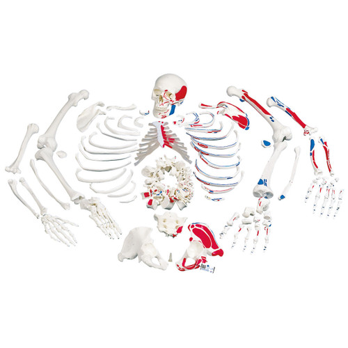 Disarticulated Human Skeleton Model with Painted Muscles