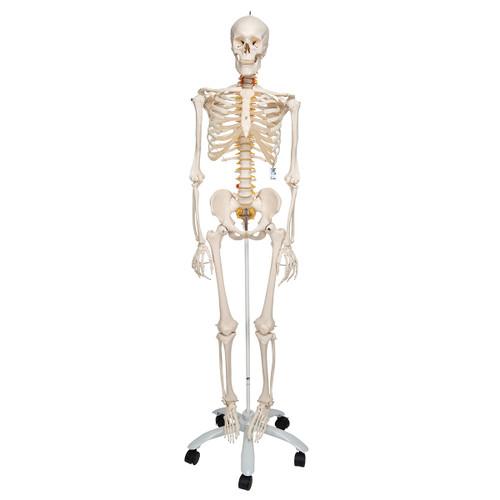 Flexible Human Skeleton Model - Front