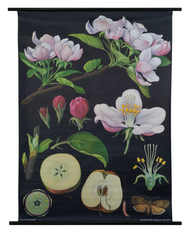 Apple Tree Botanical Poster