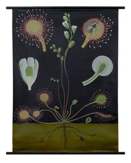 Sundew Botanical Poster