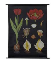 Tulip Botanical Poster