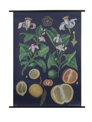 Citrus Fruit Botanical Poster