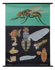 House Fly Zoological Poster