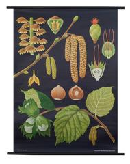 Hazel Botanical Poster