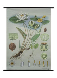 White Water Lily Botanical Poster
