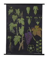 Grapevine Botanical Poster