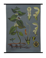 White Dead-nettle Botanical Poster