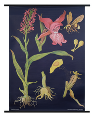Orchid Botanical Poster