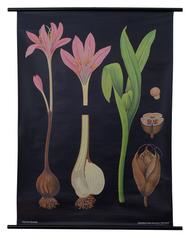Meadow Saffron Botanical Poster