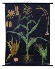 Maize Botanical Poster
