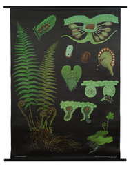 Male Fern Botanical Poster
