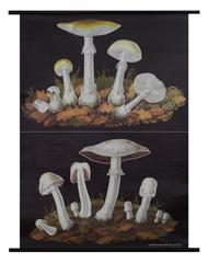 Deathcap Horse Mushroom Botanical Poster
