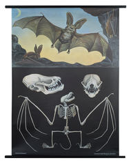 Long-Eared Bat Zoological Poster