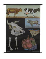 Cattle Zoology Poster
