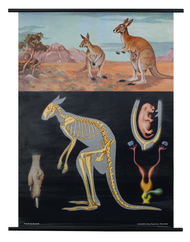 Red Kangaroo Zoological Poster