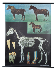 Horse Zoological Poster