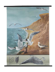 Black - Headed Gull and Flight Zoology Poster