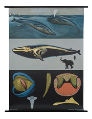 Blue Whale Zoological Poster