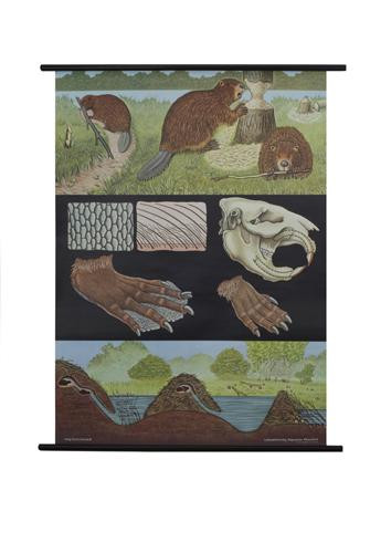 Beaver Zoology Poster