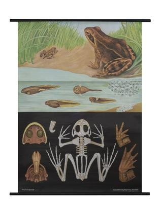 Frog Zoology Poster
