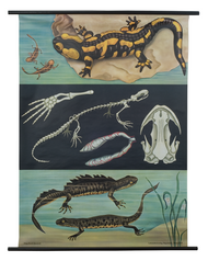 Salamander and Newt Zoological Poster