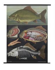 Carp Zoology Poster
