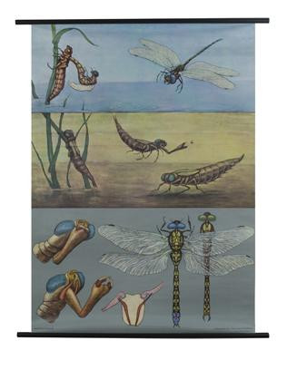 Blue Dragonfly Zoology Poster