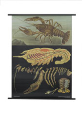 Crayfish Zoology Poster