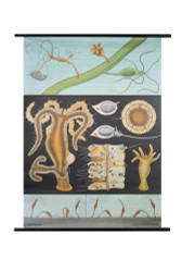 Freshwater Hydra Zoology Poster