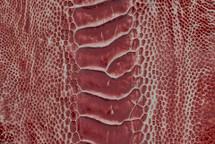 Ostrich Leg HP Red