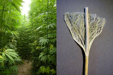 industrial hemp grown for fiber
