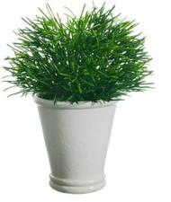 """PODOCARPUS 10"""" IN WHITE POT GREEN"""